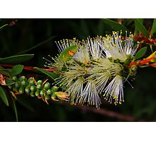 Callistemon citrinus-White Anzac Photographic Print
