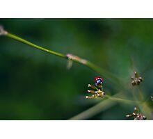 Lone Ladybird Photographic Print