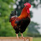Handsome Rooster by AnnDixon