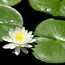 Lily of the Pond by Rosanne Jordan