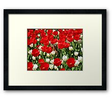 Groundhog Day! Vibrant Red & White Tulip Flower Bed on Parliament Hill, Canada Framed Print