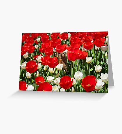 Groundhog Day! Vibrant Red & White Tulip Flower Bed on Parliament Hill, Canada Greeting Card