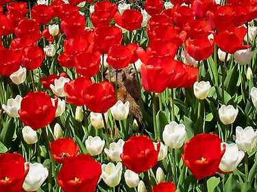 Groundhog peeking through Red Tulips