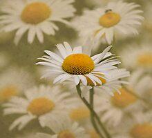Daisy, Daisy... by Kerry McQuaid
