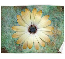 Cream Coloured Daisy Poster