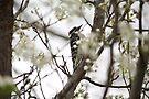 Downy Woodpecker by Jean Martin