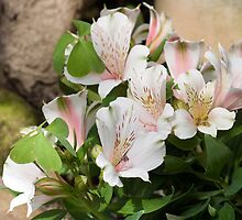 Peachy Lilies by Circe Lucas