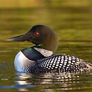 Evening Loon by Jim Cumming