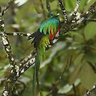 Resplendent Quetzal II by naturalnomad