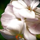 Pelargonium by coffeepr1nce