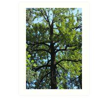 Balsam Poplar Crown Art Print