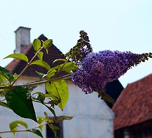 Butterfly Bush in Old Danish Town by Catherine Sherman