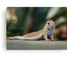 Yoga Ground Squirrel Style  Canvas Print