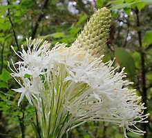 Bear Grass  (Xerophyllum) by Cynthia Broomfield