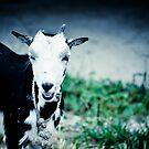 Fijian Goat by Luke Donegan
