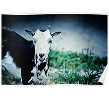 Fijian Goat Poster