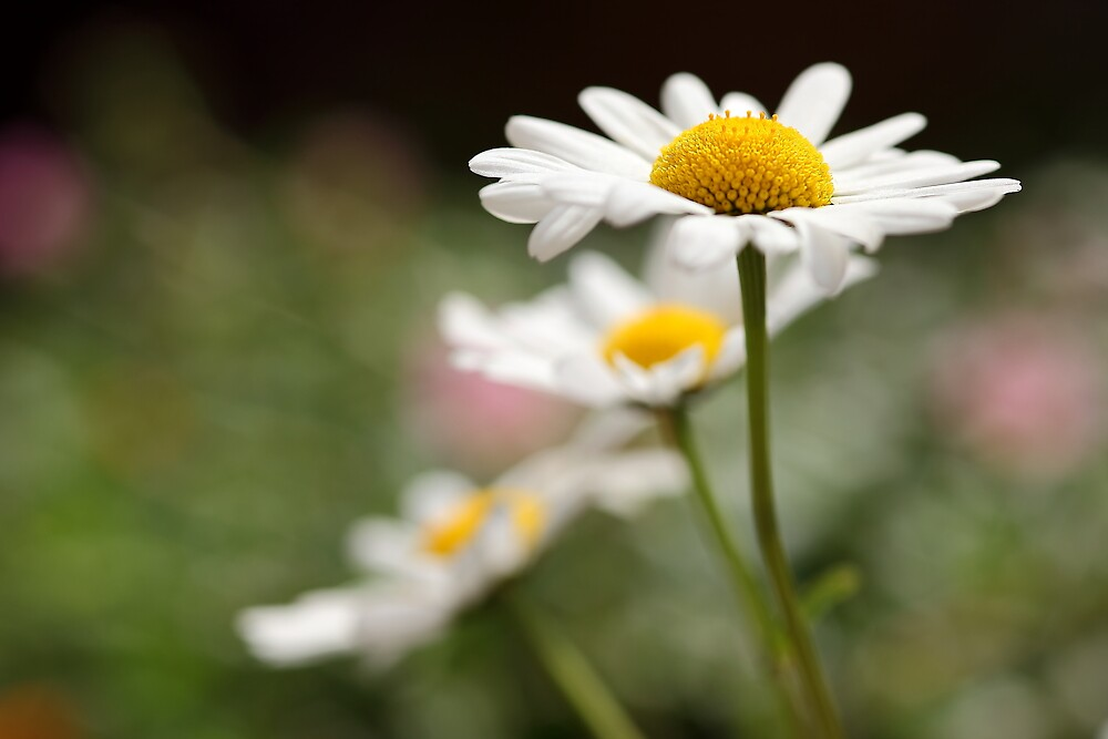 Daisies by PhotoTamara