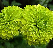 The lemon chrysanthemums by kindangel