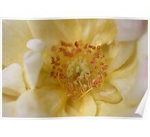 Yellow Rose Macro Poster