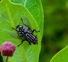 Flesh Fly by Richard Lee