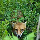 Fox Chase by Paul Gitto