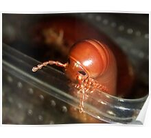 West African Brown Millipede Poster