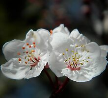 White Blossoms by amicejane