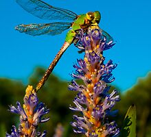 indomitable dragonfly by Miles Moody