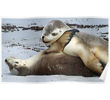 Playful young sea-lion siblings! Poster