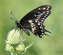 Male Black Swallowtail by Rosanne Jordan