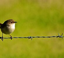 Wren on a barbed wire fence by D-GaP