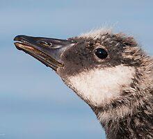 Canada Goose gosling by (Tallow) Dave  Van de Laar