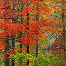 HARDWOOD FOREST, AUTUMN by Chuck Wickham