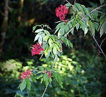red elderberry by Dawna Morton