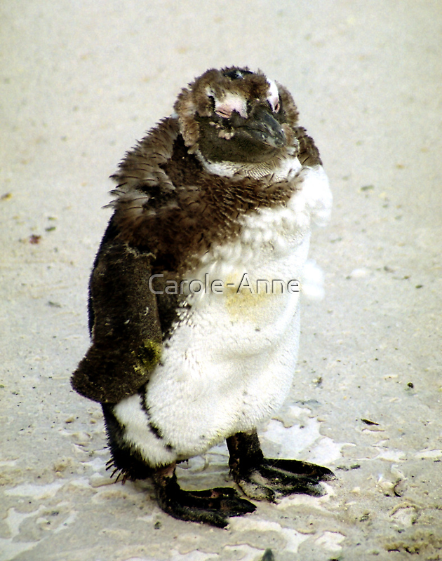 Baby South African Penguin Moulting by Carole-Anne