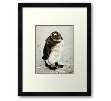 Baby South African Penguin Moulting Framed Print