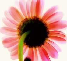 Blushing Daisy by Sharon Woerner