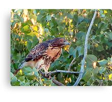Juvenile Red Tail Hawk Metal Print
