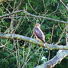 Young Redtail Hawk by Ron Russell