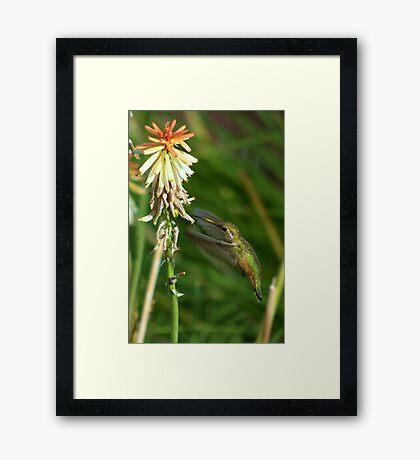 Female Rufous Hummingbird and Red Hot Poker  Framed Print