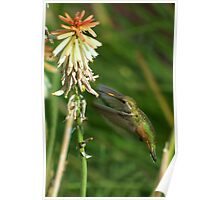Female Rufous Hummingbird and Red Hot Poker  Poster