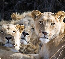 We All Lion Down by Shaun Colin Bell