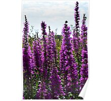 Purple Perennial Flowers Poster
