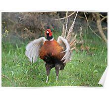 Pheasant Fan Dance Poster