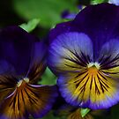 Pansies by karina5