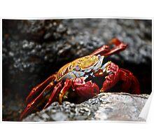 Sally Lightfoot Crab - Galapagos Islands Poster