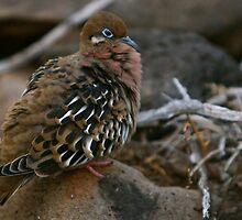 Galapagos Dove by James Girdler