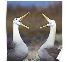 Waved Albatross Pair Bonding  Poster