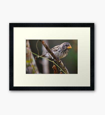 Galapagos Finch  Framed Print