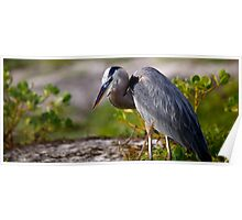 Great Blue Galapagos Heron Poster
